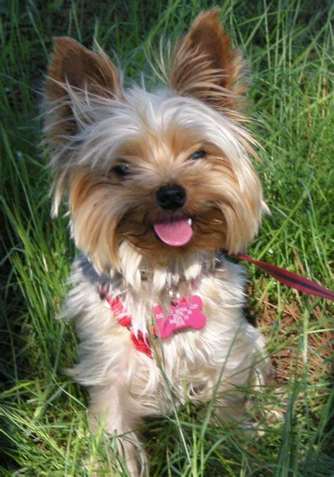 yorkie animal rescue oklahoma yorkie rescue available dogs animals