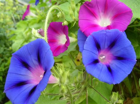 Climbing Plants In The Philippines - flower picture morning glory flower
