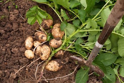 coltivare patate in vaso tutto sulla coltivazione delle patate idee green
