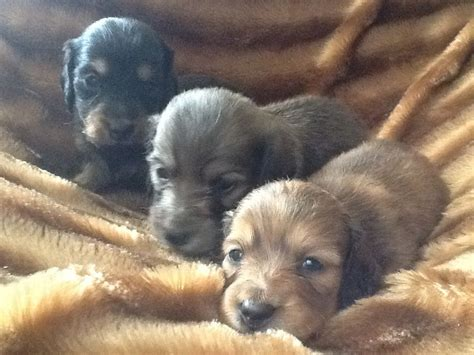 haired dachshund puppies free dachshund puppies for sale breeds picture