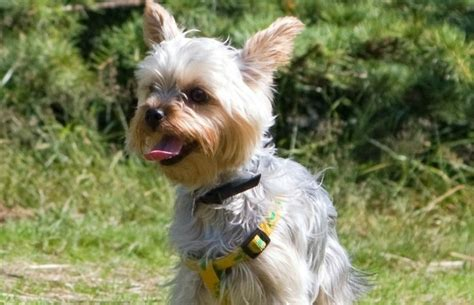 are yorkies hypoallergenic dogs terrier small hypoallergenic dogs