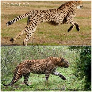 What Is The Difference Between A Leopard And A Jaguar Difference Between Cheetah And Leopard