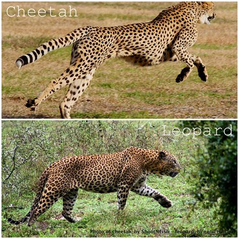 is a jaguar faster than a cheetah runs faster than leopard poetry youtubehaiku