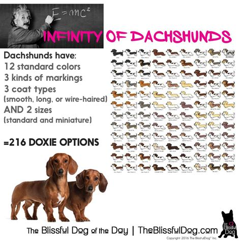 dachshund colors dachshunds 200 possible coat color size and