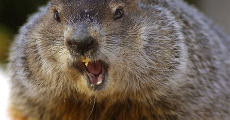 groundhog day history the history of groundhog s day and punxsutawney phil
