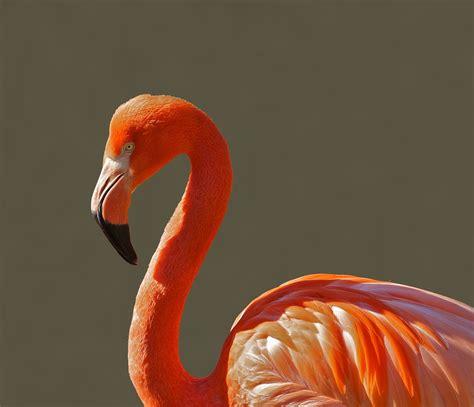 flamingo wallpaper nyc red flamingo 183 free stock photo