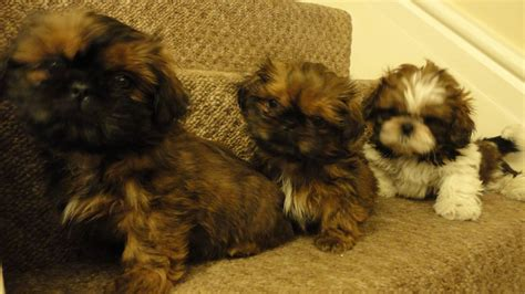 shih tzu puppies for sale in birmingham adorable shih tzu puppies for sale birmingham west midlands pets4homes