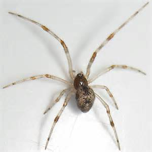 maybe parasteatoda tepidariorum common house spider