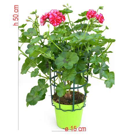 edera vaso geranio edera vaso 15 bonini piante