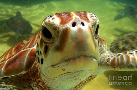 Sea Turtle Home Decor Turtle Face Photograph By Carey Chen