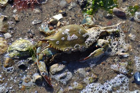 27 best images about blue crabs on pinterest crabs chesapeake bay s blue crab population shows modest rise