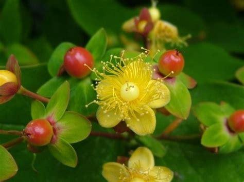 iperico fiore olio iperico oli essenziali propriet 224 olio iperico