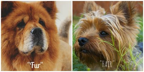 do dogs hair or fur terrier with hair not fur photo