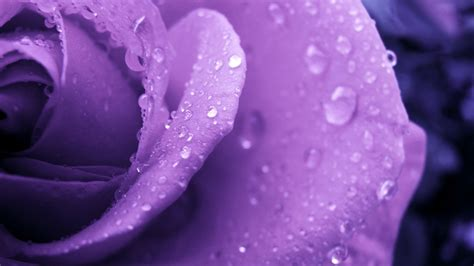 purple water purple and water droplets wallpapers and images