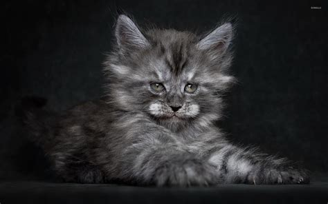 grey kitten wallpaper fluffy gray kitten wallpaper animal wallpapers 45898