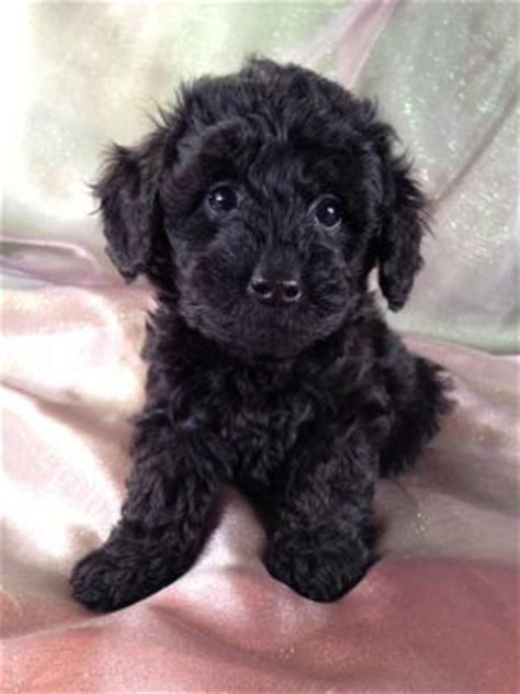 schnoodle puppies mn schnoodle breeders with puppies for sale at about half the prices of breeders in new