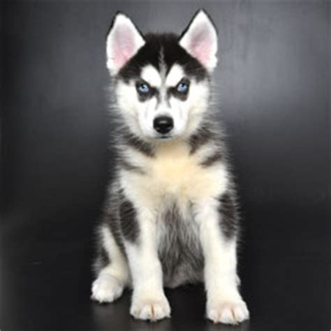 golden retriever husky mix cost siberian husky golden retriever mix for adoption dogs in our photo