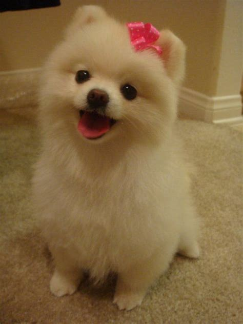 pomeranian with hair best 25 pomeranian haircut ideas on pomeranian hairstyles pomeranian