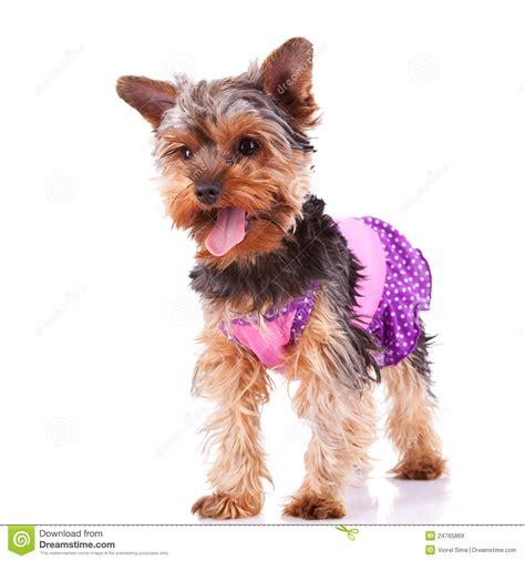 yorkie panting panting puppy standing royalty free stock images image 24765869