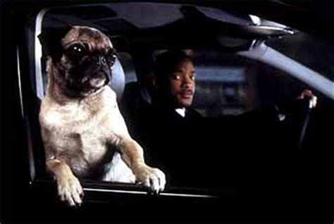 frank the pug in black frank the pug in black wiki the in black encyclopedia anyone can edit