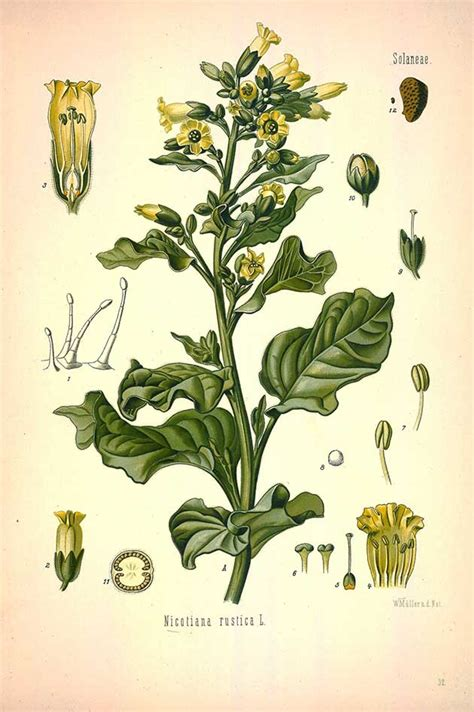 botanical flower carnation italian 11 88 free vintage medicinal botanical plants illustrations naturopathy plant