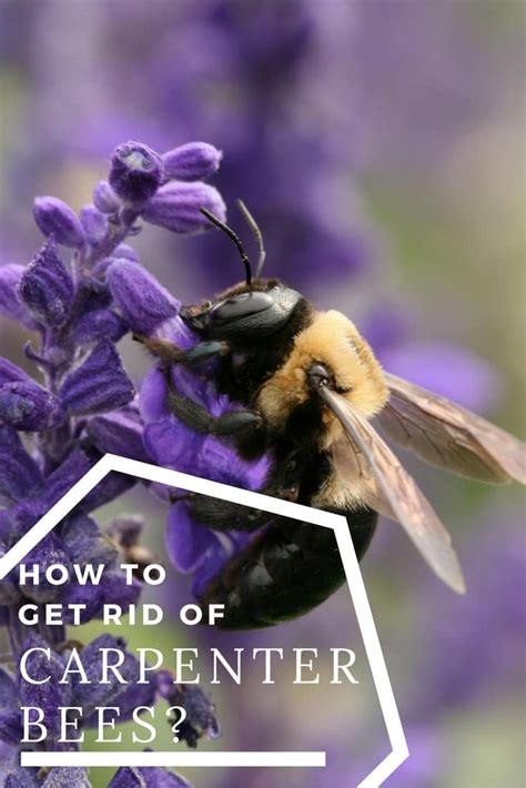 how to get rid of bees in house siding how to get rid of carpenter bees how to kill carpenter bees at home