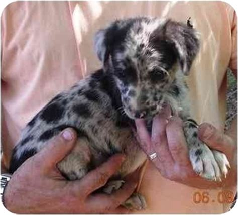 puppies for sale in charlottesville va australian shepherd in charlottesville breeds picture