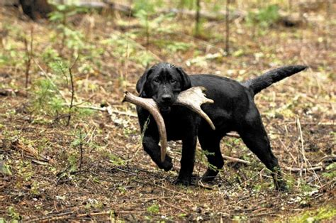 how to a to find sheds how to a labrador to find deer sheds the cing page