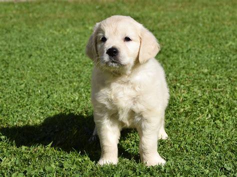 golden retriever paws santa paws golden retriever puppy for sale puppy
