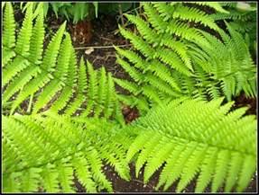 mark s veg plot ferns