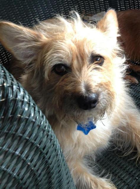 havanese rescue oklahoma i found tonka on corgi mix cairn terriers and corgi