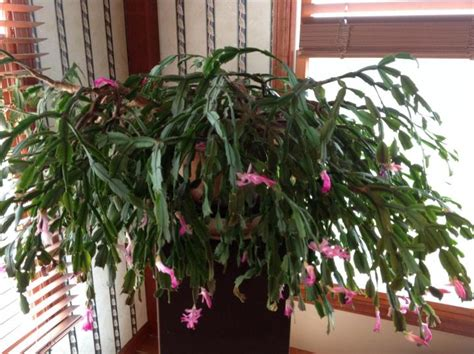 how much light do christmas cactus need