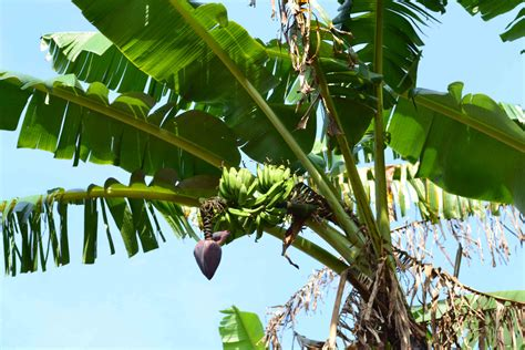 Bananas On Tree by Banana Tree Pictures