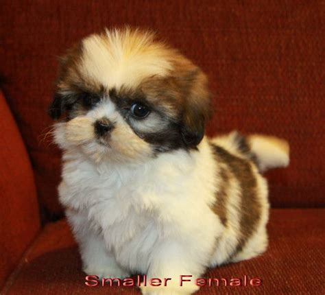 teacup shih tzu breeders in ontario 178 best images about animal pics on baby polar bears hamsters and