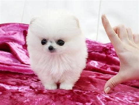 baby pomeranian for sale baby teacup pomeranian puppies for sale images