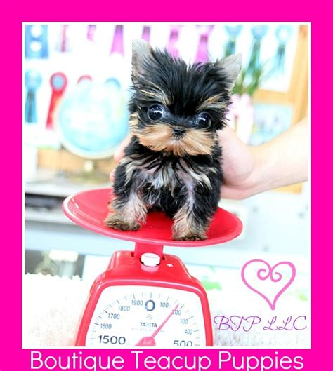 teacup yorkie for sale in ta 1000 images about micro teacup puppy s on teacup poodle puppies teacup