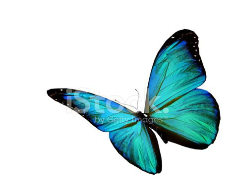Gamis Buterfly Premium White Pasmina turquoise butterfly flying isolated on white background stock photos freeimages