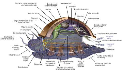 mollusk diagram mollusca
