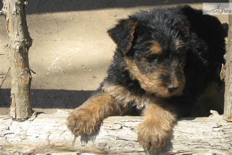 airedale puppies for sale near me airedale terrier for sale for 500 near tulsa oklahoma 28f805b0 7d61