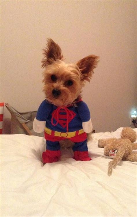 yorkie superman costume 126 best images about dogs in costumes on costumes pets and puppys