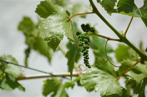 13 best images about growing care of grape vines on pinterest home training and cottage gardens