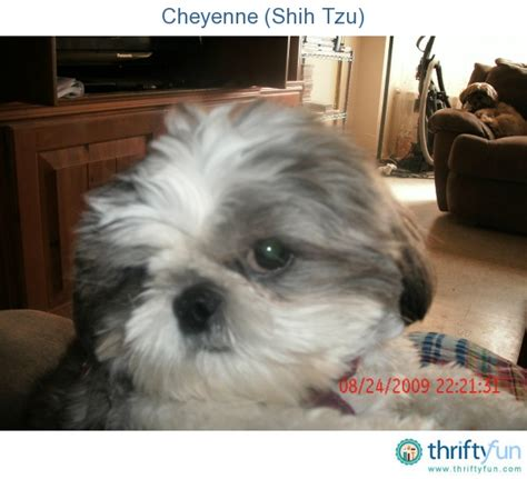 shih tzu follows me everywhere 53 best images about shih tzu on puppys yorkie and shih
