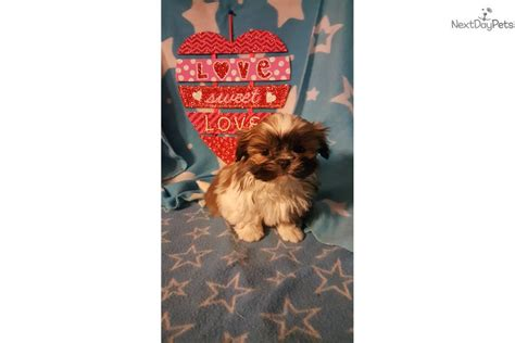 shih tzu puppies for sale cincinnati ohio shih tzu puppy for sale near cincinnati ohio 98a15c23 9a81