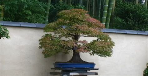 Pohon Bonsai B koleksi foto bonsai pohon bonsai