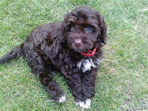 Do Cavapoos Shed by 1000 Images About Cavalier King Charles Mix On