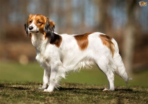 a puppy for kooikerhondje breed information buying advice photos and facts pets4homes