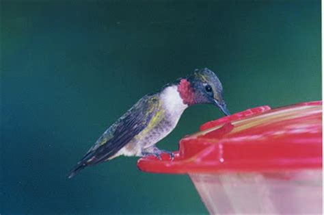 wild birds unlimited do hummingbirds migrate on the backs
