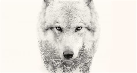 Strong Wolf by 20 Strong Wolf Quotes To You Up Wolves Wolfpack