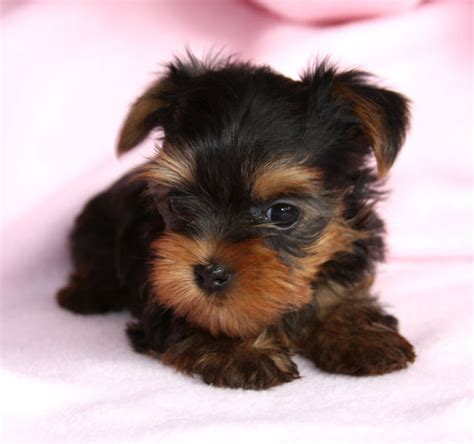pretty yorkies yorkie puppies car interior design