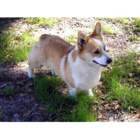 corgi puppies florida pembroke corgi breeders in florida breeds picture